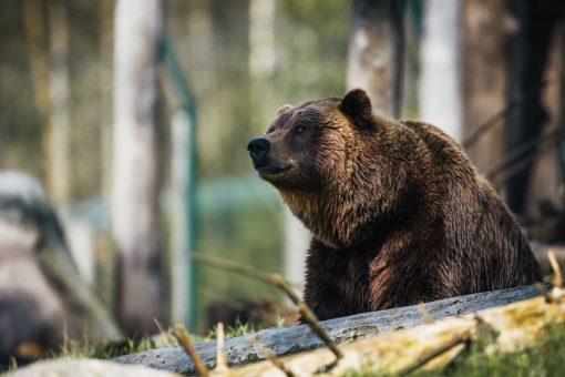 Shamanic Journey with Bear
