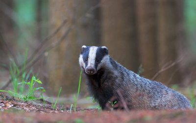 TOTEM SPIRITS FOR HEALING: BADGER & EARTH WORM