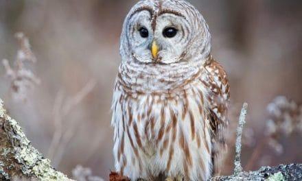 TOTEM SPIRIT: OWL